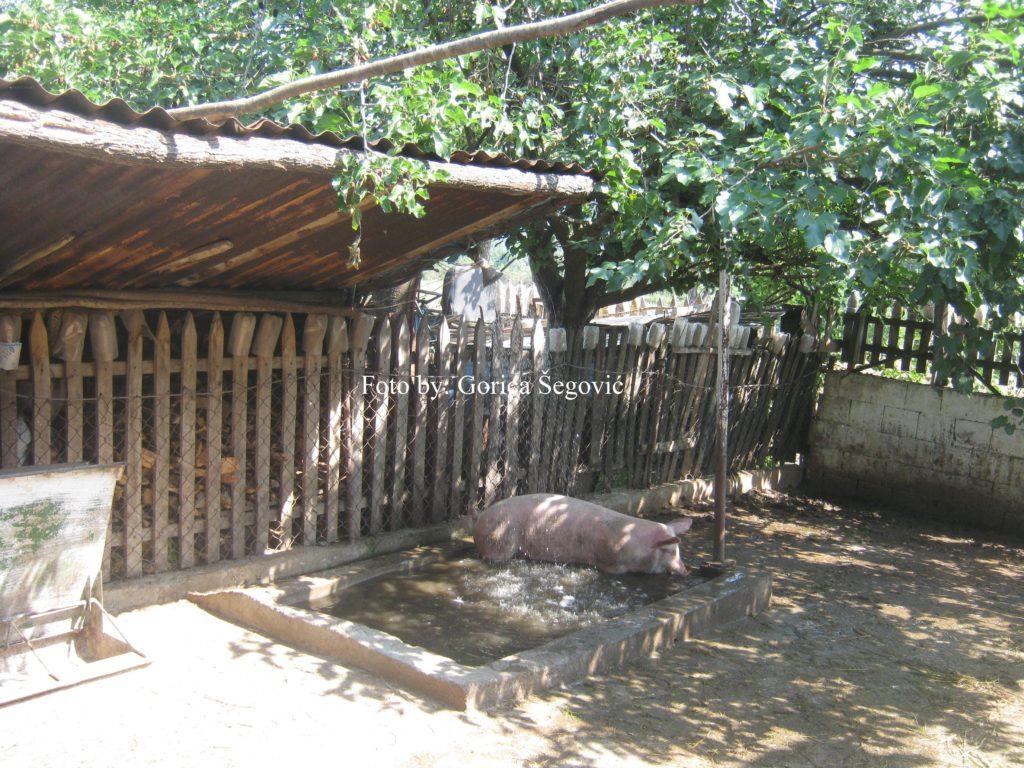 Obor za svinje sa bazenom